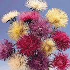 花たね 針咲アスター混合 1袋(200粒)