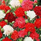 花たね カーネーション混合 1袋(100粒)
