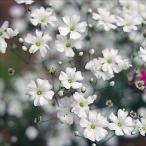 花たね 白花かすみ草 1袋(300粒)