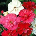 花たね 八重咲コスモス混合 1袋(80粒)
