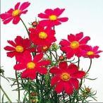 花たね 緋赤コスモス 1袋(80粒)