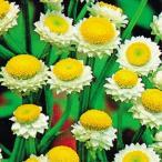 花たね アンモビューム 1袋(300mg) / タネ 種