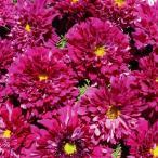 花たね コスモス クランベリー 1袋(80粒)