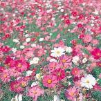 花たね大量販売 コスモス畑 1袋(1000g入)