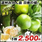 果樹苗 カンキツ 日南の姫R 1株