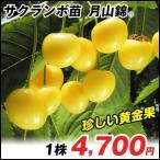 果樹苗 サクランボ 月山錦R 1株 / 果物苗 フルーツ苗 さくらんぼ 桜桃