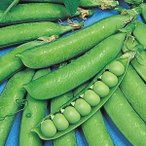 野菜たね マメ 白竜豌豆 1袋(25ml入)