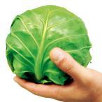 種 野菜たね キャベツ F1よかまる 1袋(3ml) / タネ たね きゃべつ 葉菜 甘藍 カンラン カンラン 甘藍 【YTC15】