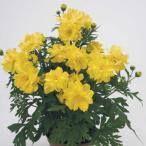 キバナコスモス 9センチポット 3号 黄花 秋桜 秋桜