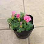 冬咲き オキザリス バリアビリス ピンク 苗 9センチポット