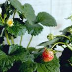 四季成りイチゴちゃん おいしいホワイト 苗 9センチポット
