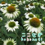 エキナセア ホワイト(コンパクト系) 花苗 9センチポット 3号