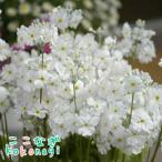 プリムラ マラコイデス うぐいすホワイト 9センチポット 3号 桜草 さくらそう サクラソウ