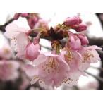 桜 熱海 15cmポット苗