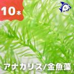 水草 アナカリス(オオカナダモ) 1束(鉛巻き)