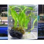 水草 ミクロソリウム プチ水槽用活着水草