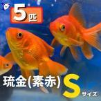 金魚の定番種