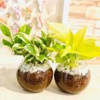 ポトス2種set ポトス エンジョイ&ポトス ライム ハイドロカルチャー インテリア 観葉植物