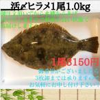 比目鱼 - 活〆養殖ヒラメ1尾1.0kgサイズ