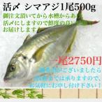 養殖シマアジ0.5kgサイズ