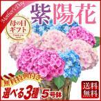 母の日ギフト早割ポイント10倍!選べるあじさい鉢植え 花籠入り 送料無料 紫陽花5号鉢 筑紫ルビー・筑紫の風・ジューンブライド