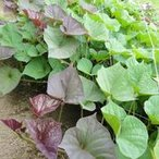当店自慢の安納芋を安納芋の苗◆さつまいも苗◆ 安納芋(あんのういも) サツマイモ苗 10本 切り芋苗