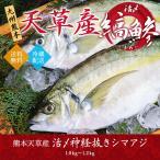 シマアジ 活〆 神経ぬき 活魚 九州 熊本 天草産 1.0〜1.2kg 送料無料 鮮魚 御贈答 絶品刺身 最高級アジ