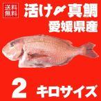 活け〆 真鯛 約2kgサイズ 丸ごと一匹尾頭付き(養殖:冷蔵便でお届け) 愛媛を筆頭にプロが選ぶ良品の鯛をお届けします