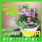 花鉢 ギフト デンドロビューム寄せ植え 送料無料 春のお花 お祝い