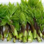 山菜 コシアブラ(山菜こしあぶら)採りたて70g前後 発送は4/末頃〜