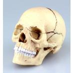 教材 模型  4D VISION 人体解剖 No.23 (1/2頭蓋骨解剖モデル)