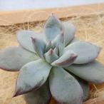 多肉植物 エケベリア ブラックサバス 韓国苗 抜き苗(カット苗)約3.5cm 観葉植物 インテリア
