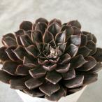 多肉植物 タキタス キングスター 9cmポット 観葉植物 インテリア