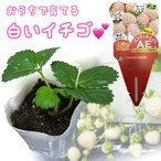 天使のいちごAE(エンジェルエイト)白いちご 9cmポットイチゴ苗