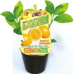 果樹苗 早成り 鉢植えで簡単栽培 果肉通常の2倍 耐寒性向上 エムソン企画 レモン21 9cmポット