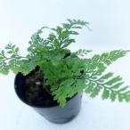 テラリウム パルダリウム 着生植物 シダ植物 コケ玉 コケリウム インテリア トキワシノブ