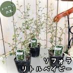 観葉植物 苗物 寄植え インテリア かわいい ソフォラ プロスタータ リトルベイビー 3号