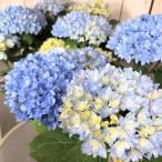 植物 ハイドランジア カワイイ コレクション 春初夏 アジサイ ごきげんよう 5号