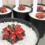 多肉植物 ドライガーデン 乾燥に強い カワイイ マニア サボテン 緋牡丹錦 3号
