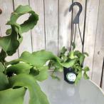 多肉植物 インテリア プラントハンガー 乾燥に強い マニア エピフィルム グアテマレンシス 4号吊り鉢