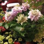 Yahoo!フラワーガーデンリーブスクレマチス 母の日 花鉢 クレマチス ベルオブウォーキングタイプ
