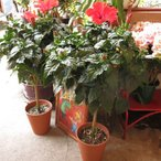 父の日プレゼント花花鉢ハイビスカス