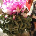 シクラメン 鉢植え