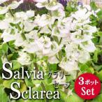 宿根サルビア バチカンホワイト  3ポットセット