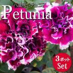 八重咲き ペチュニア 開花前花苗 パープルピルエット 3.5号 3ポットセット