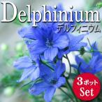 宿根草 開花前花苗 デルフィニウム ミントブルー 3.5号 3ポットセット