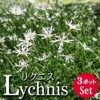 宿根草 花苗 リクニス ホワイトロビン 3.5号 3ポットセット