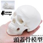 【19blue】頭蓋骨模型 顎関節 可動 タイプ 学校教材 医療機関 骸骨 ドクロ ガイコツ 人骨 模型 頭蓋 頭蓋骨 フィギュア 骨格 頭 ( 手のひらサイズ)
