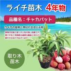 ライチ苗木(チャカパット)3年もの(取り木苗木) 購入後約1年で果実が収穫できます!