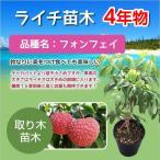 ライチ苗木(フォンフェイ)3年もの(取り木苗木) 購入後約1年で果実が収穫できます!